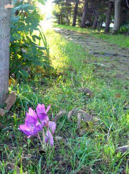 16.9.25.散歩道サフラン.JPG