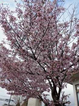 17.5.2.蝦夷山桜.JPG