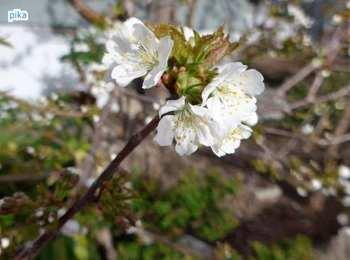 17.5.4.サクランボの花.JPG