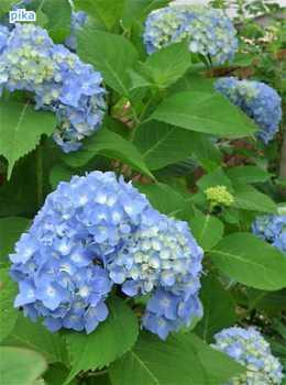 17.7.10.紫陽花.JPG