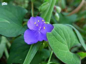 17.8.7.紫つゆ草.JPG